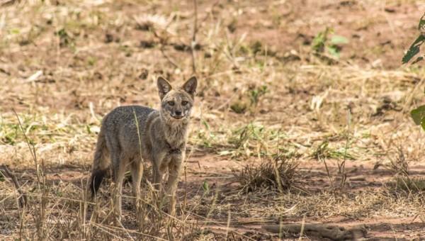 Desmatamento da Mata Atlântica causa surgimento de raposas híbridas