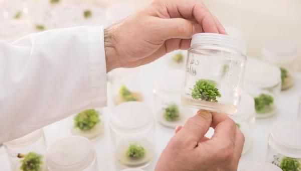 Estudo usa hipergravidade para acelerar crescimento de eucaliptos