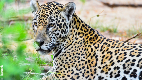 Brazil takes a leading role in the genome sequencing of jaguars